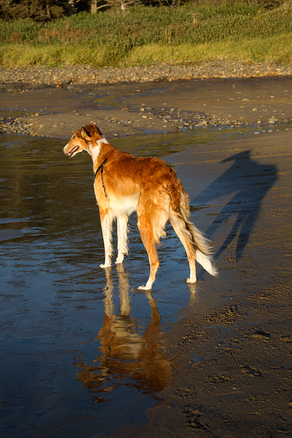 Timber the borzoi with a reflection and a shadow
